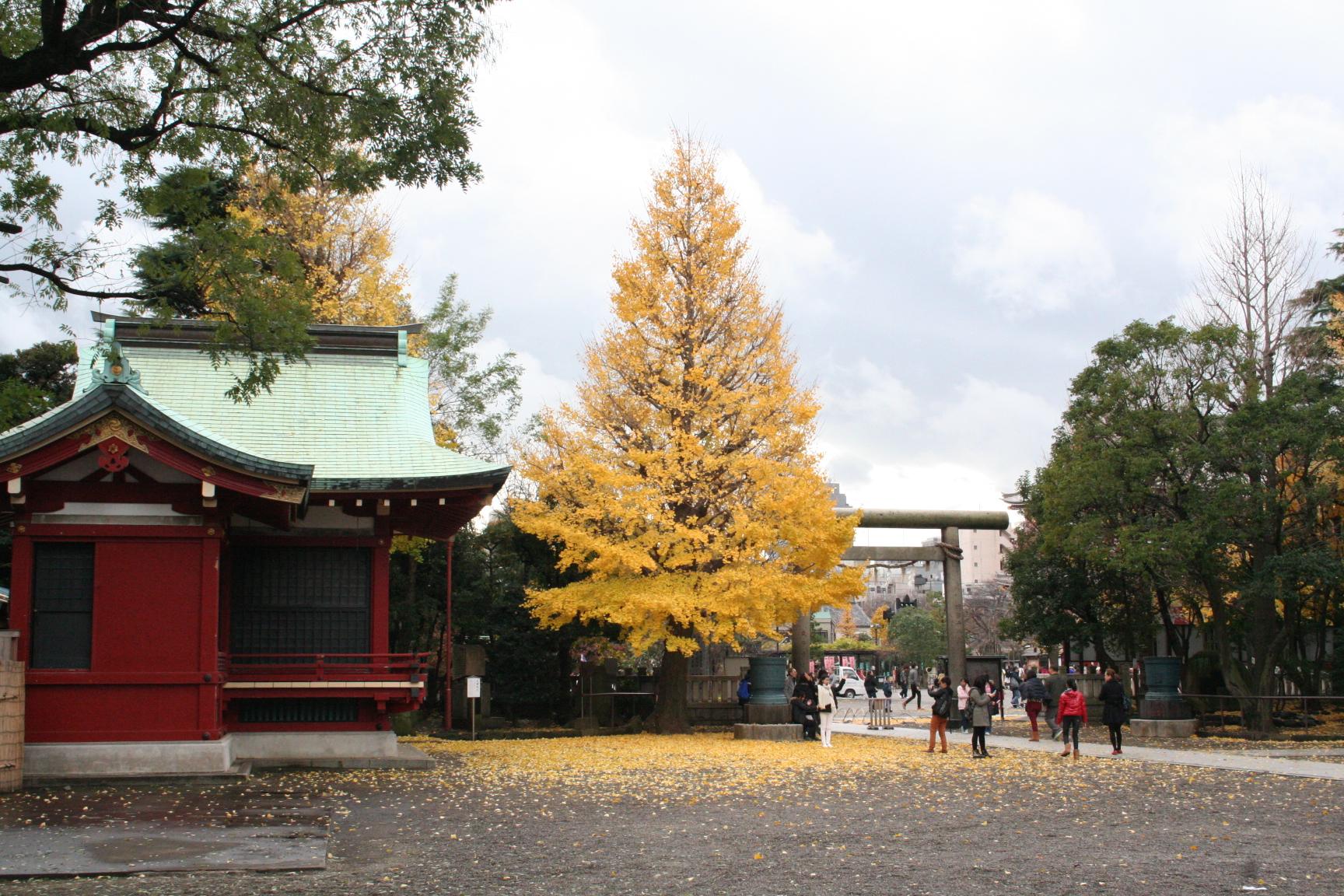 浅草神社 銀杏